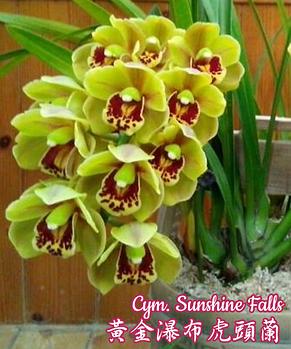 "Орхидея азиатская. Под Заказ! Cym. Sunshine Falls. Размер: 2""., фото 2"