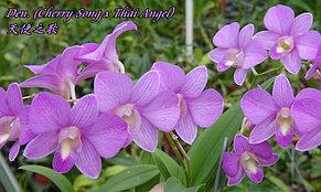 """Орхидея азиатская. Под Заказ! Den. (Cherry Song × Thai Angel). Размер: 2.5""""., фото 2"""