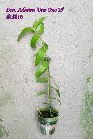 """Орхидея азиатская. Под Заказ! Den. Adastra """"Ono Ono 15"""". Размер: 25-35cm., фото 2"""