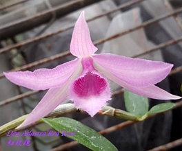 "Орхидея азиатская. Под Заказ! Den. Adastra ""Red Rose"". Размер: 2.5""."