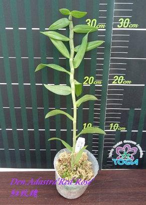 """Орхидея азиатская. Под Заказ! Den. Adastra """"Red Rose"""". Размер: 2.5""""., фото 2"""