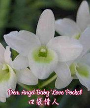 """Орхидея азиатская. Под Заказ! Den. Angel Baby """"Love Pocket"""". Размер: 2.5"""" / 3""""."""