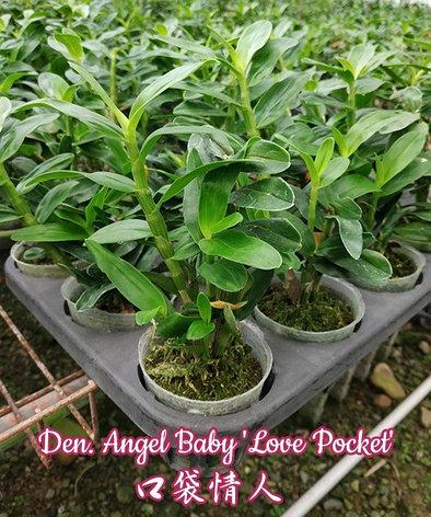 "Орхидея азиатская. Под Заказ! Den. Angel Baby ""Love Pocket"". Размер: 2.5"" / 3""., фото 2"