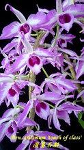 "Орхидея азиатская. Под Заказ! Den. anosmum ""touch of class"". Размер: 10cm."