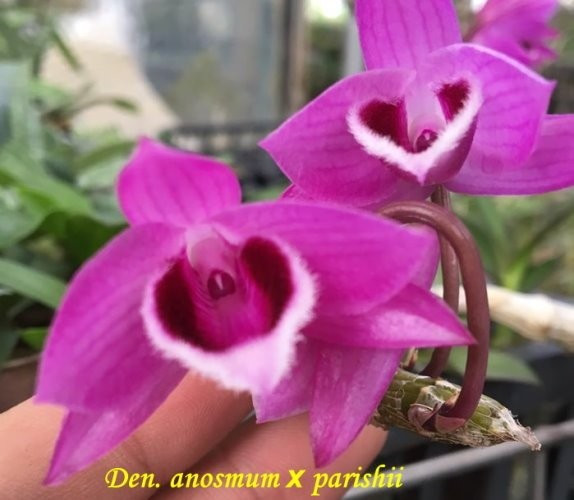 """Орхидея азиатская. Под Заказ! Den. anosmum × parishii. Размер: 2.5""""."""