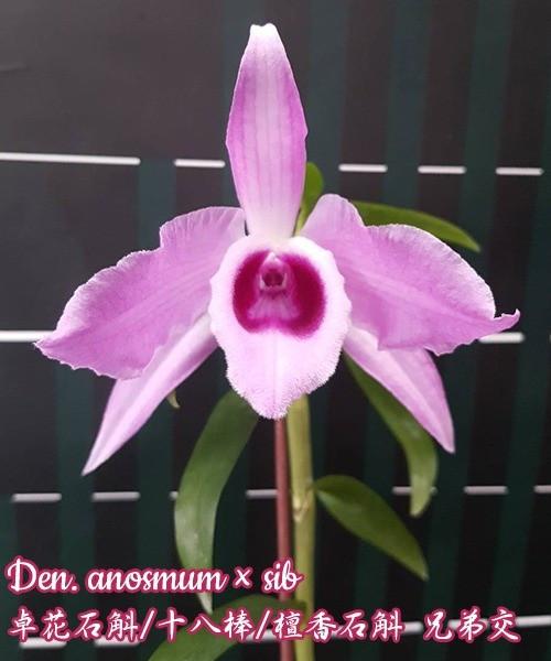 """Орхидея азиатская. Под Заказ! Den. anosmum × sib. Размер: 2.5""""."""