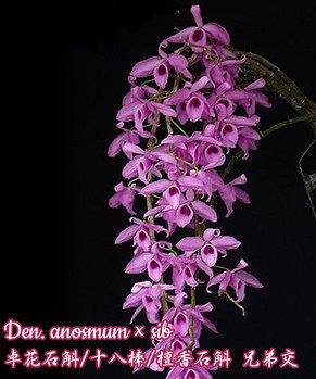 """Орхидея азиатская. Под Заказ! Den. anosmum × sib. Размер: 2.5""""., фото 2"""