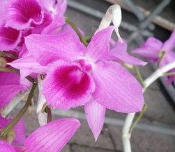 """Орхидея азиатская. Под Заказ! Den. anosmum 4N. Размер: 2.5""""."""