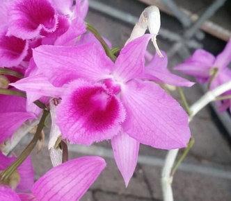 "Орхидея азиатская. Под Заказ! Den. anosmum 4N. Размер: 2.5""., фото 2"