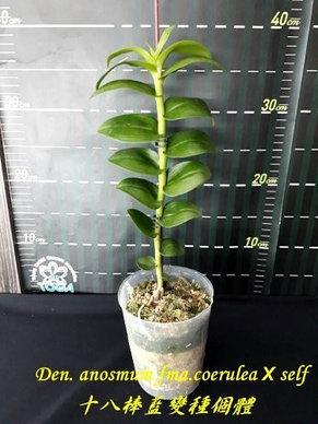 """Орхидея азиатская. Под Заказ! Den. anosmum fma.coerulea × self. Размер: 2.5"""" / 3.5""""., фото 3"""