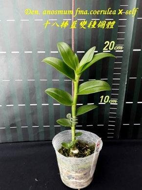 """Орхидея азиатская. Под Заказ! Den. anosmum fma.coerulea × self. Размер: 2.5"""" / 3.5""""., фото 2"""
