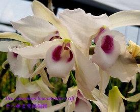 """Орхидея азиатская. Под Заказ! Den. anosmum fma.coerulea × self. Размер: 2.5"""" / 3.5""""."""