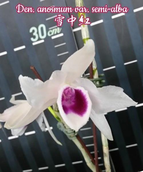 Орхидея азиатская. Под Заказ! Den. anosmum var. semi-alba. Размер: 40-50cm.