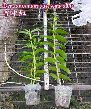 Орхидея азиатская. Под Заказ! Den. anosmum var. semi-alba. Размер: 40-50cm., фото 2