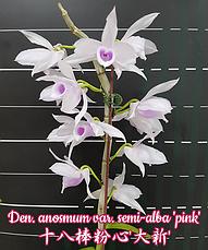 """Орхидея азиатская. Под Заказ! Den. anosmum var. semi-alba """"pink"""". Размер: 1.7"""" / 2.5"""" / 3.5""""., фото 3"""