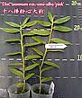 """Орхидея азиатская. Под Заказ! Den. anosmum var. semi-alba """"pink"""". Размер: 1.7"""" / 2.5"""" / 3.5""""., фото 2"""