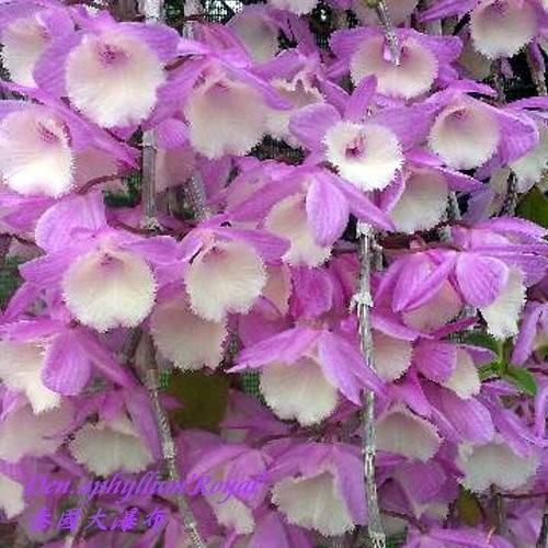 """Орхидея азиатская. Под Заказ! Den. aphyllum """"Royal"""". Размер: 2.5""""."""