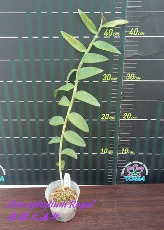 """Орхидея азиатская. Под Заказ! Den. aphyllum """"Royal"""". Размер: 2.5""""., фото 2"""