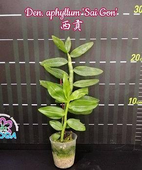 """Орхидея азиатская. Под Заказ! Den. aphyllum """"Sai Gon"""". Размер: 2""""., фото 2"""