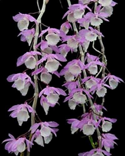 """Орхидея азиатская. Под Заказ! Den. aphyllum (variegata). Размер: 2.5""""."""