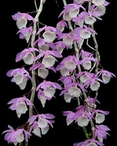 """Орхидея азиатская. Под Заказ! Den. aphyllum (variegata). Размер: 2.5""""., фото 2"""