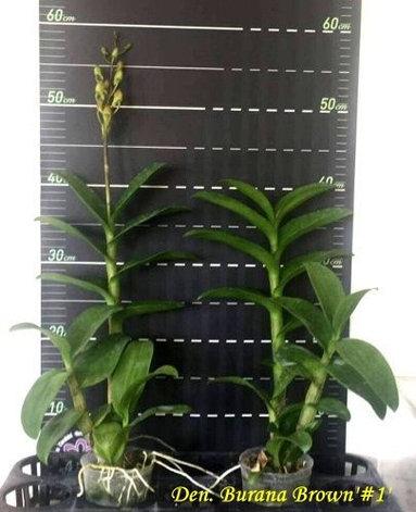 """Орхидея азиатская. Под Заказ! Den. Burana Brown """"#1"""". Размер: 3""""., фото 2"""