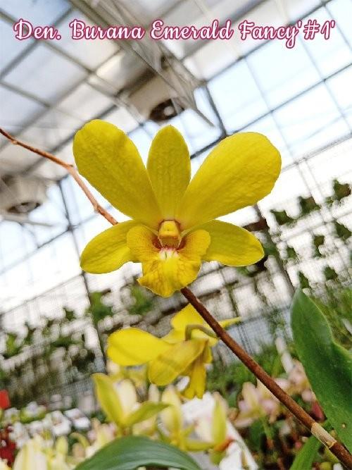 """Орхидея азиатская. Под Заказ! Den. Burana Emerald Fancy """"#1"""". Размер: 3""""."""