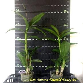 """Орхидея азиатская. Под Заказ! Den. Burana Emerald Fancy """"#1"""". Размер: 3""""., фото 2"""