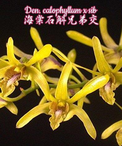 """Орхидея азиатская. Под Заказ! Den. calophyllum x sib. Размер: 2""""., фото 2"""