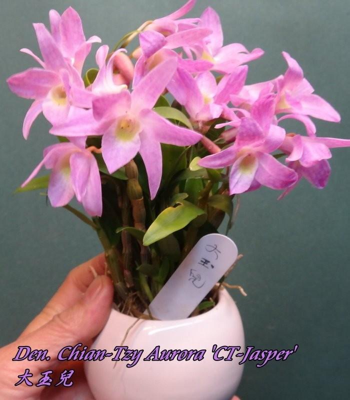 "Орхидея азиатская. Под Заказ! Den. Chian-Tzy Aurora ""CT-Jasper"". Размер: 2""."