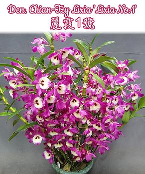 "Орхидея азиатская. Под Заказ! Den. Chian-Tzy Lixia ""Lixia No.1"". Размер: 2.5""., фото 2"
