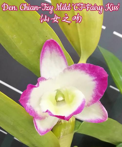 "Орхидея азиатская. Под Заказ! Den. Chian-Tzy Mild ""CT-Fairy Kiss"". Размер: 2.5""."