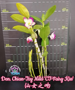 "Орхидея азиатская. Под Заказ! Den. Chian-Tzy Mild ""CT-Fairy Kiss"". Размер: 2.5""., фото 2"