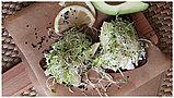 Семена микс для проращивания «Стройность» микрозелень, фото 3