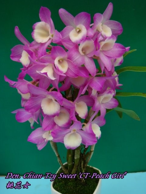 """Орхидея азиатская. Под Заказ! Den. Chian-Tzy Sweet """"CT-Peach Girl"""". Размер: 2.5""""."""