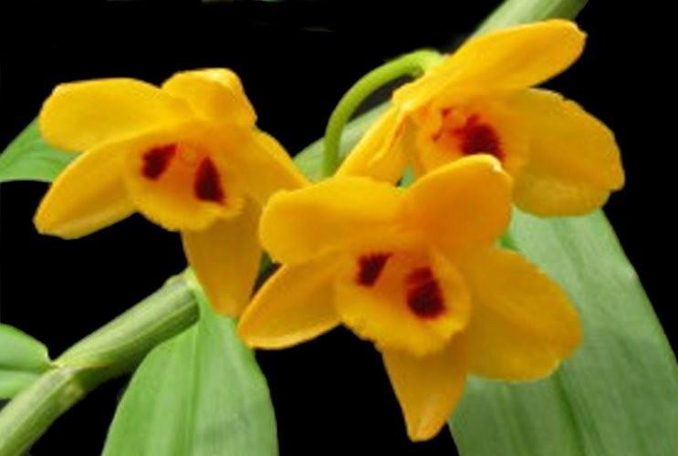 """Орхидея азиатская. Под Заказ! Den. chrysanthum × sib. Размер: 2.5""""."""