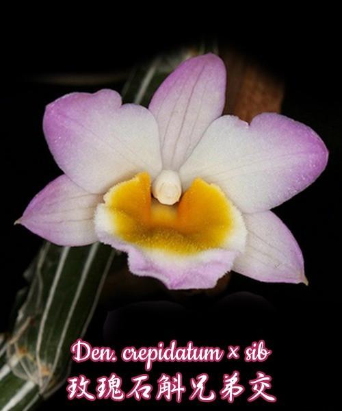 Орхидея азиатская. Под Заказ! Den. crepidatum × sib. Размер: bare root.