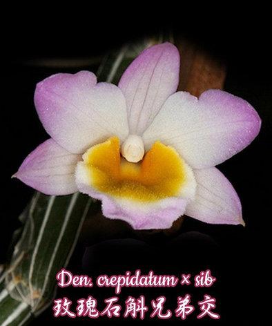 Орхидея азиатская. Под Заказ! Den. crepidatum × sib. Размер: bare root., фото 2