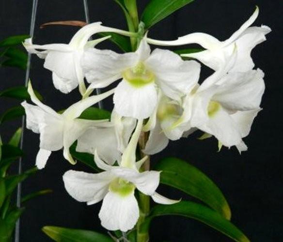 "Орхидея азиатская. Под Заказ! Den. dearei × sib. Размер: 2.5""."