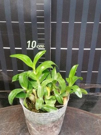 "Орхидея азиатская. Под Заказ! Den. dearei × sib. Размер: 2.5""., фото 2"