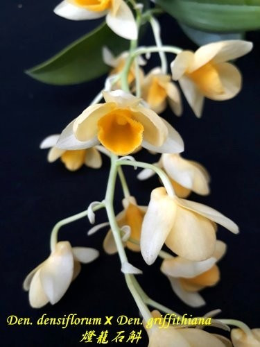 "Орхидея азиатская. Под Заказ! Den. densiflorum × Den. griffithiana. Размер: 2.5""."