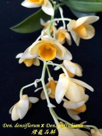 """Орхидея азиатская. Под Заказ! Den. densiflorum × Den. griffithiana. Размер: 2.5""""., фото 2"""