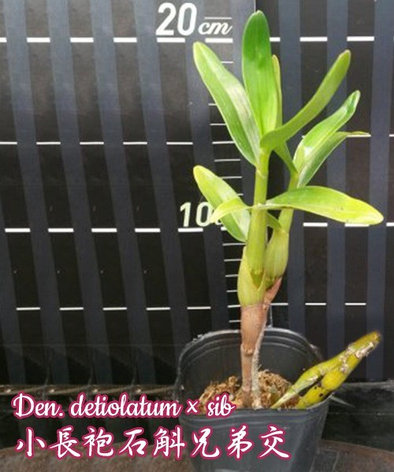 """Орхидея азиатская. Под Заказ! Den. detiolatum × sib. Размер: 2.5""""., фото 2"""