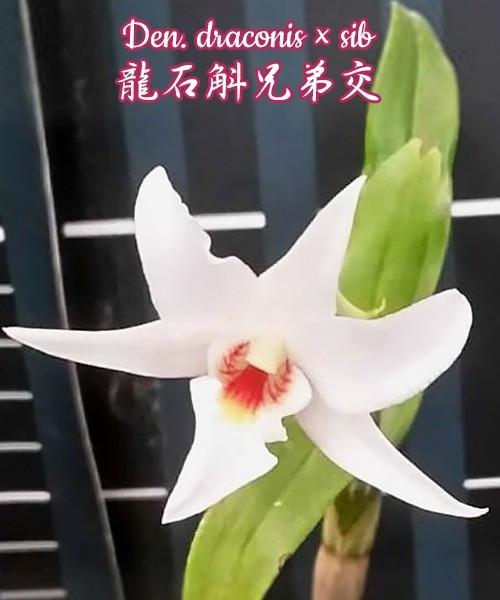 """Орхидея азиатская. Под Заказ! Den. draconis × sib. Размер: 2.5""""."""