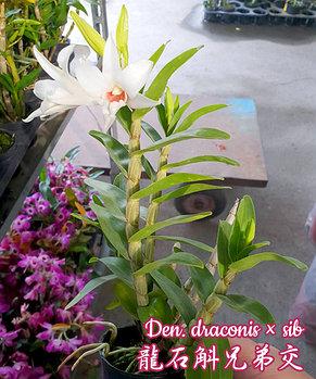 """Орхидея азиатская. Под Заказ! Den. draconis × sib. Размер: 2.5""""., фото 2"""