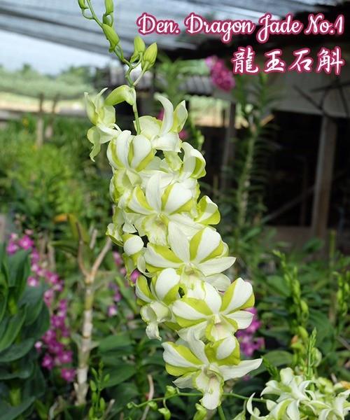 """Орхидея азиатская. Под Заказ! Den. Dragon Jade No.1. Размер: 1.7""""."""