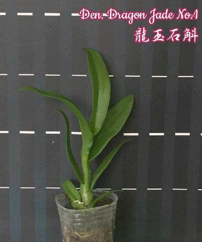 """Орхидея азиатская. Под Заказ! Den. Dragon Jade No.1. Размер: 1.7""""., фото 2"""