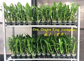 "Орхидея азиатская. Под Заказ! Den. Dragon King (variegata). Размер: 2.5""., фото 2"