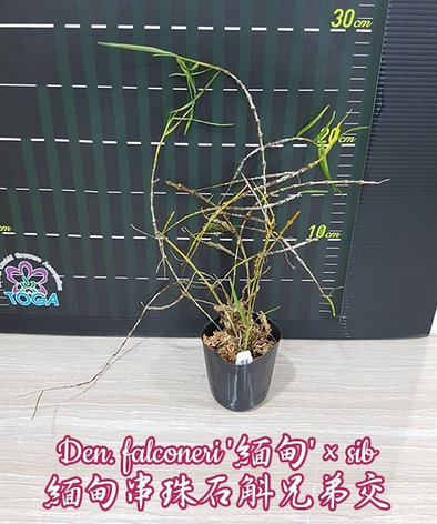"""Орхидея азиатская. Под Заказ! Den. falconeri × sib. Размер: 2.5""""., фото 2"""