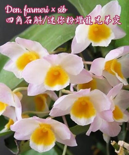 "Орхидея азиатская. Под Заказ! Den. farmeri × sib. Размер: 2.5"" / 3.5""."